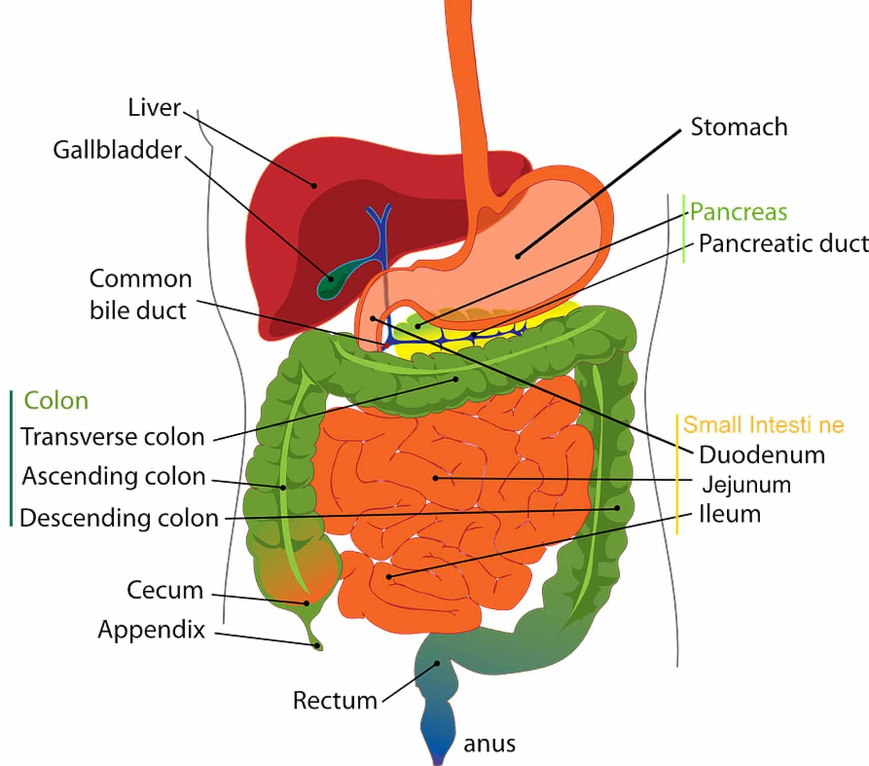 vital organs digestive series the liver fodmap everyday. Black Bedroom Furniture Sets. Home Design Ideas