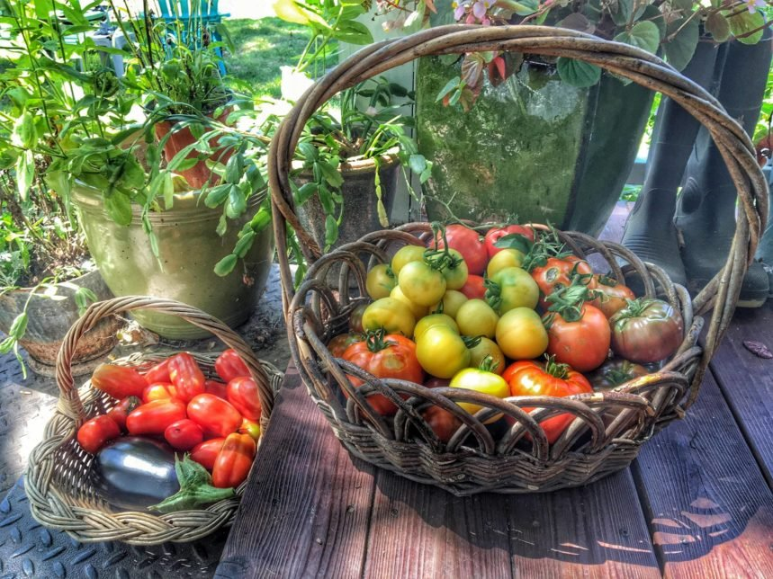 A basket of fresh tomatoes from the garden.