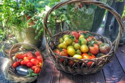 Fresh tomatoes from the garden