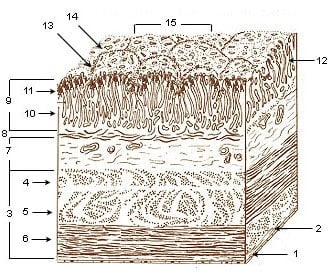The layers of the stomach lining.