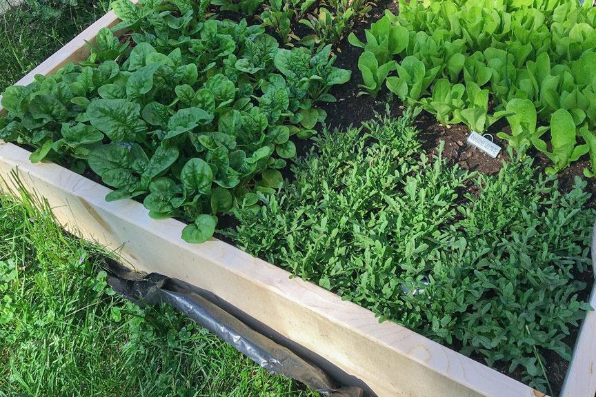 Arugula growing on The Farm copy