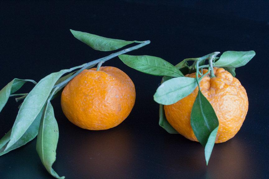 mandarins on stalk 2