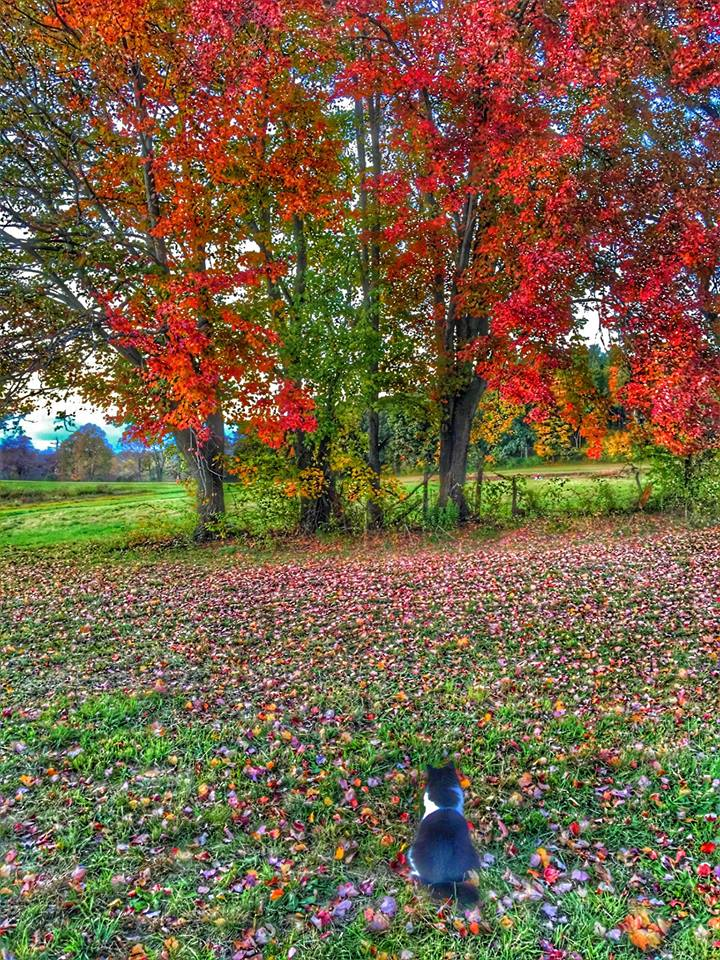 Izzy the Cat admiring the glory of the maple tree in fall.
