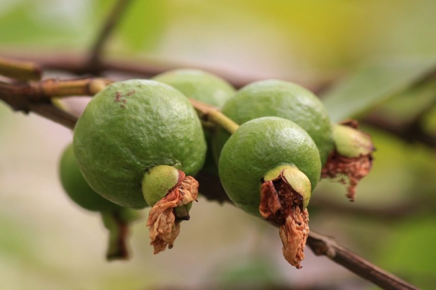 Guava - Food Processing Series - Low FODMAP Diet