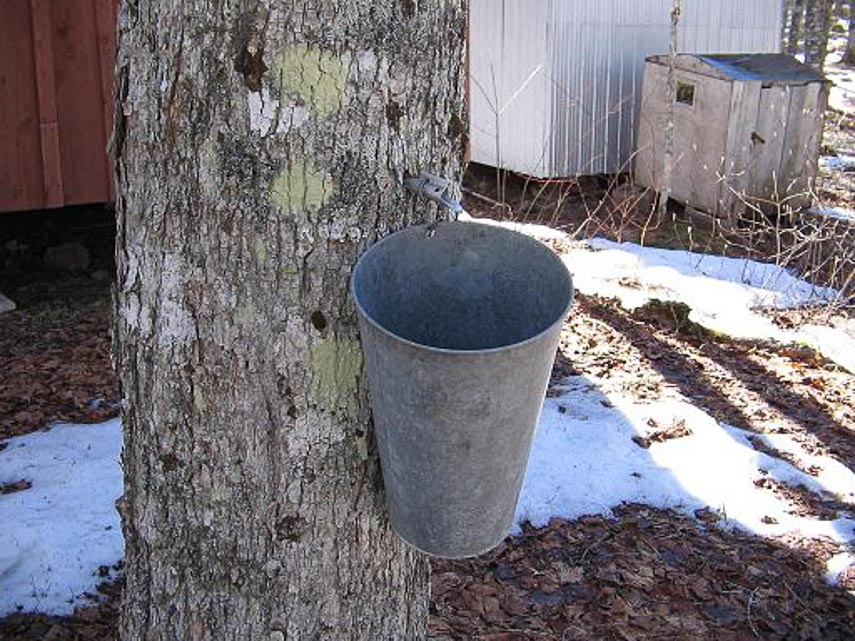 maple tree tapped for maple syrup with a bucket to collect sap