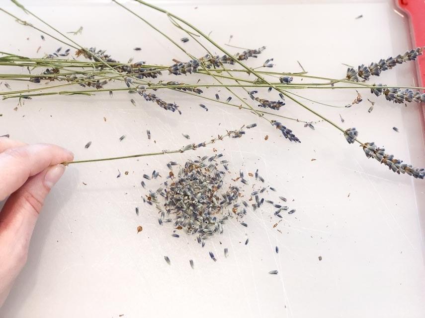 preparing dried lavender for our big batch lemonade