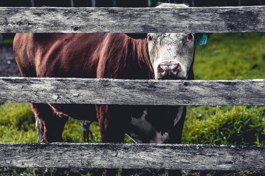 cow behind fence. DIY Lactose Free Dairy