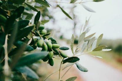 olives growing on tree. Not All Low FODMAP Garlic-Infused Oil is Created Equal