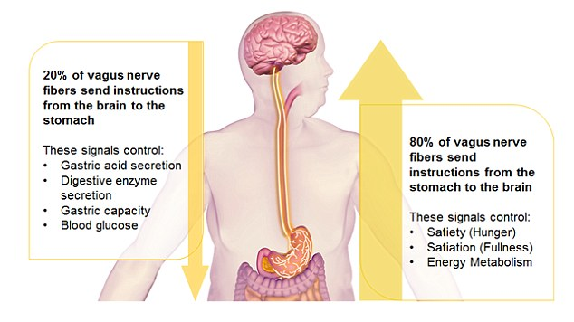 The Gut-Brain Connection: It's Not All in Your Head - The Vagus Nerve - super highway between the gut and the brain.