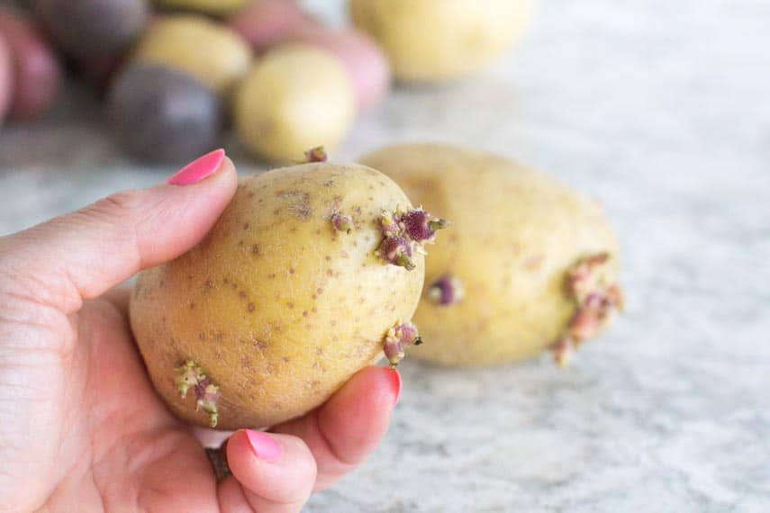 yellow potatoes with eyes held in a manicured hand