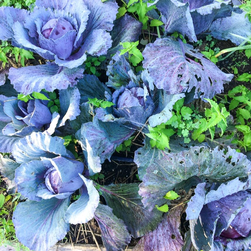 red cabbage growing in garden