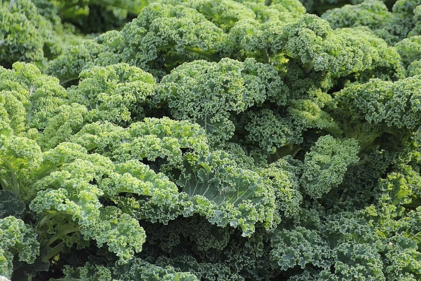 Curly kale filling the entire frame of the image