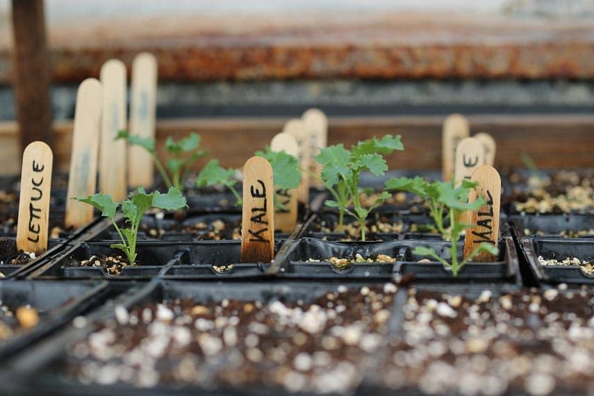 kale seedlings growing in soil