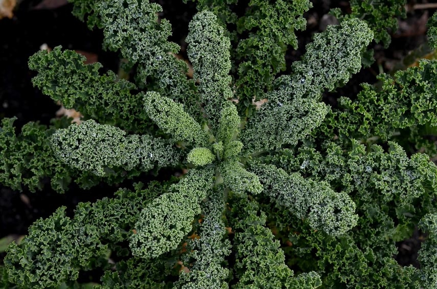 overhead shot of curly kale growing